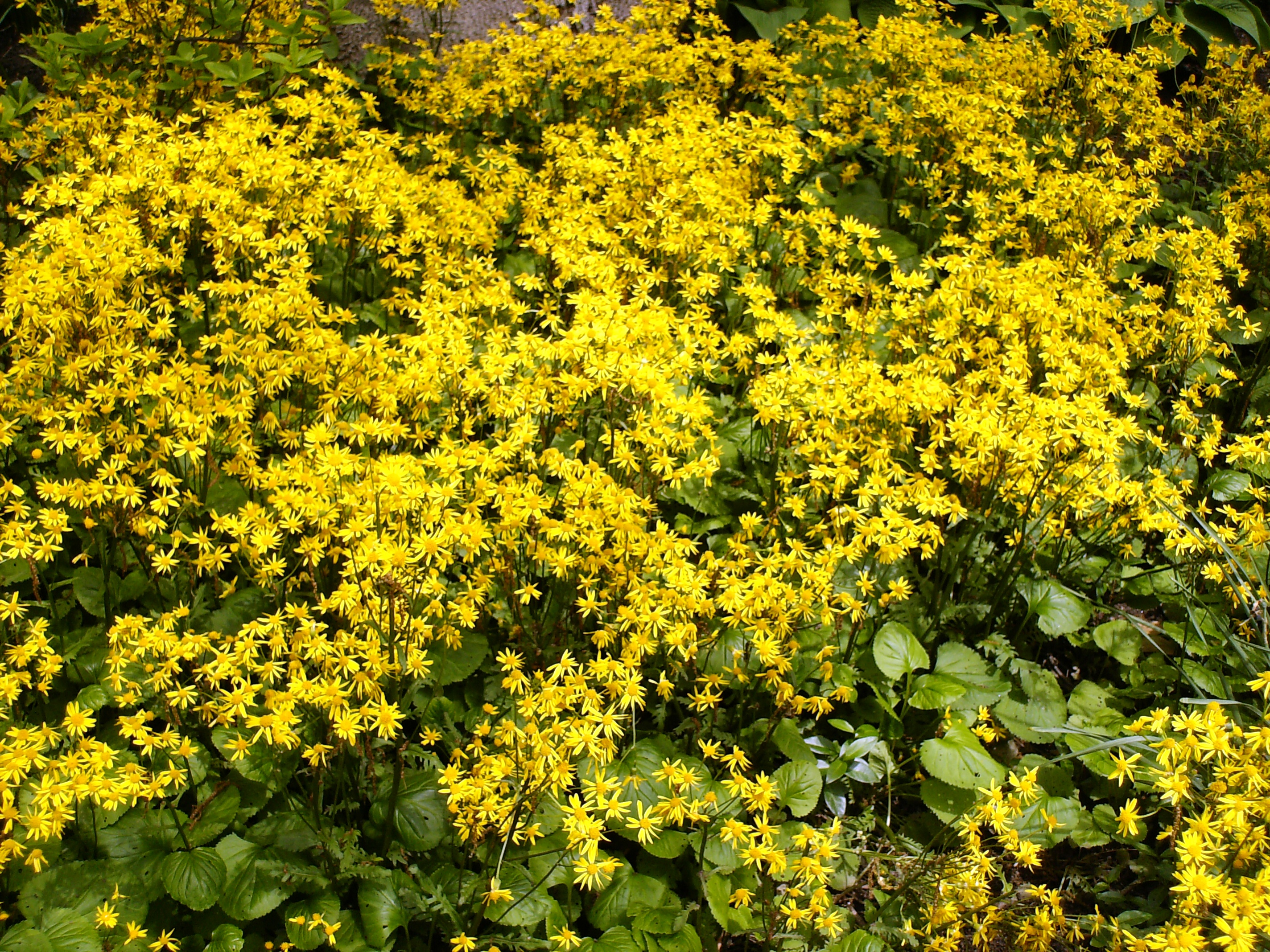 Garden plants yellow pdf garden plants yellow mightylinksfo