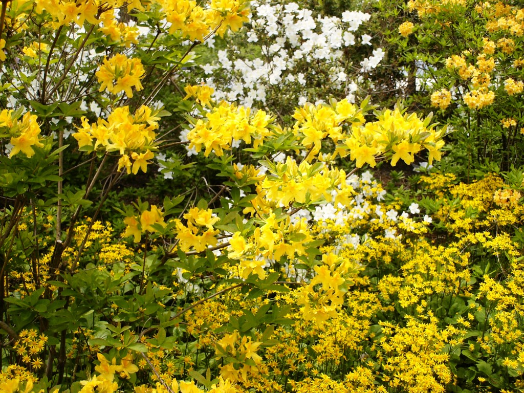 Yellow Flowers Philadelphia Azalea Garden