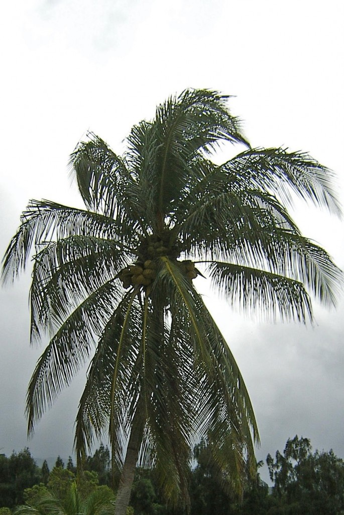 Tropic Coconut Palm Tree