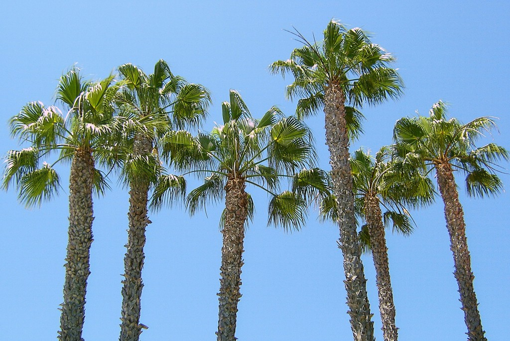 Palm Tree Tops In California