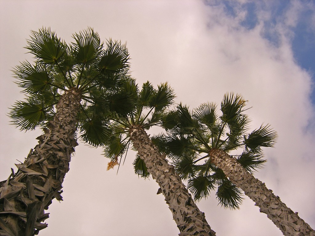 Palm Trees In Southern California