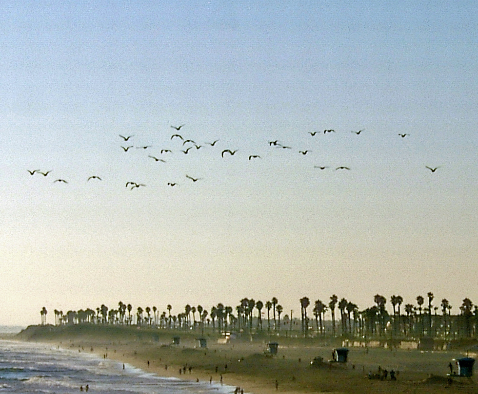 Sea Gulls Flocking Over Huntington Beach