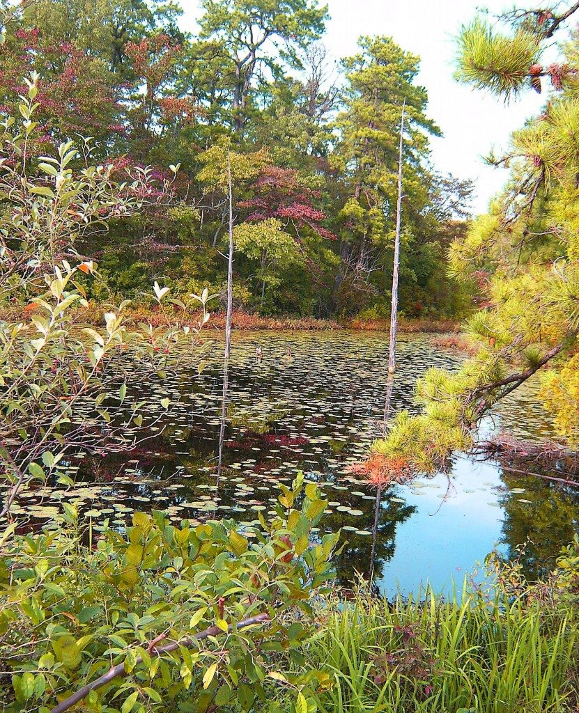 Fall Reflections & Lily Pads At South Jersey Marsh