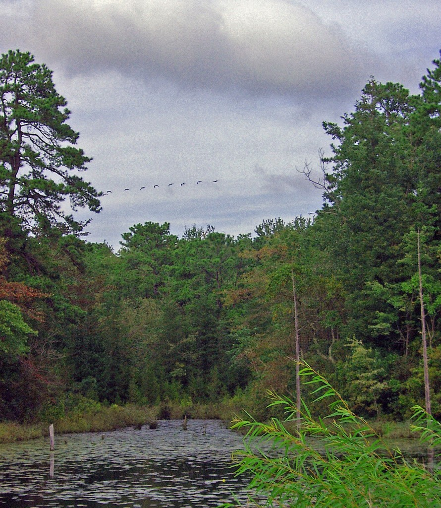 Geese Flying Over Frog Pond Marsh In New Jersey