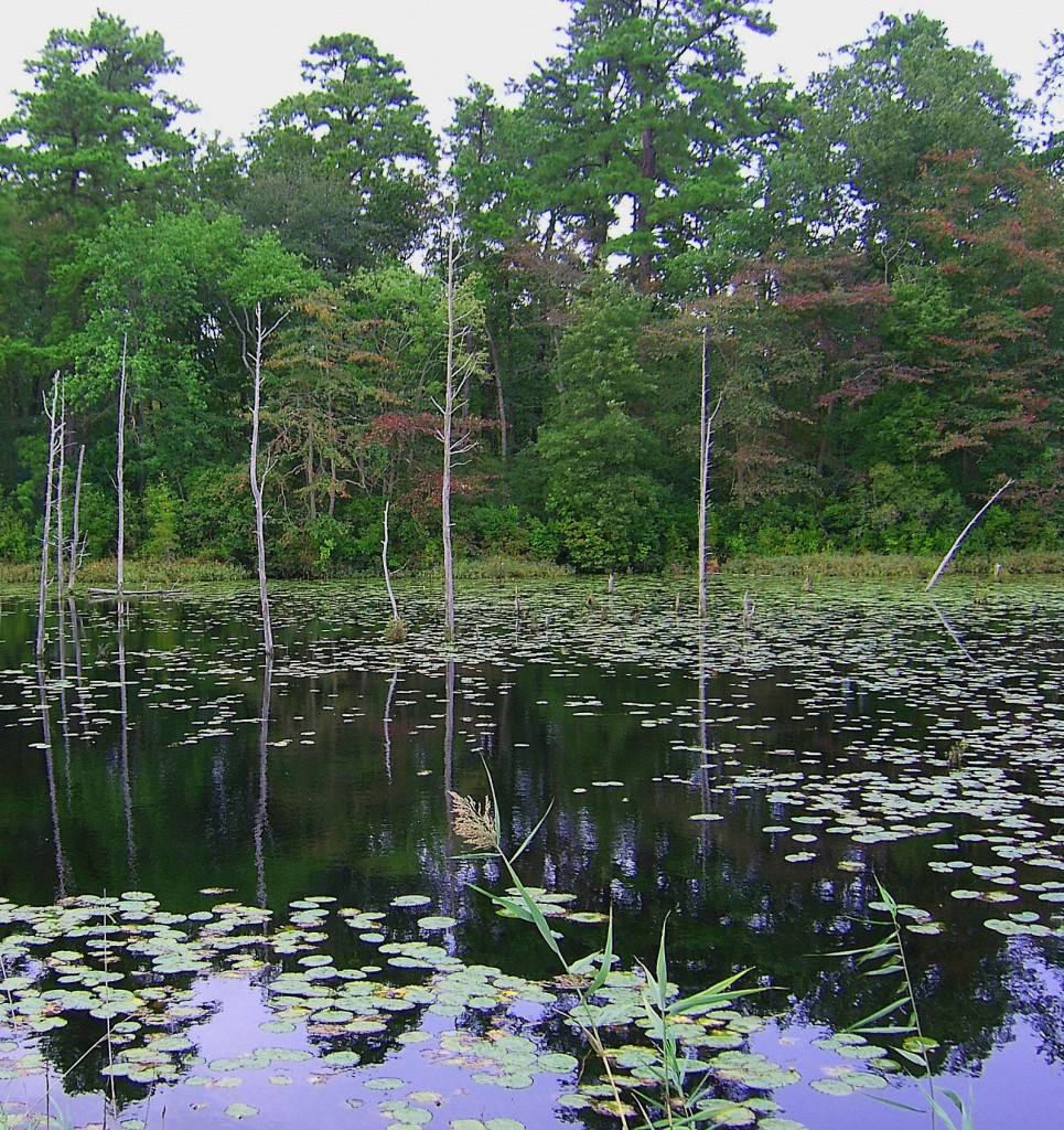 Morning Pond Reflections & Lily Pads In South Jersey