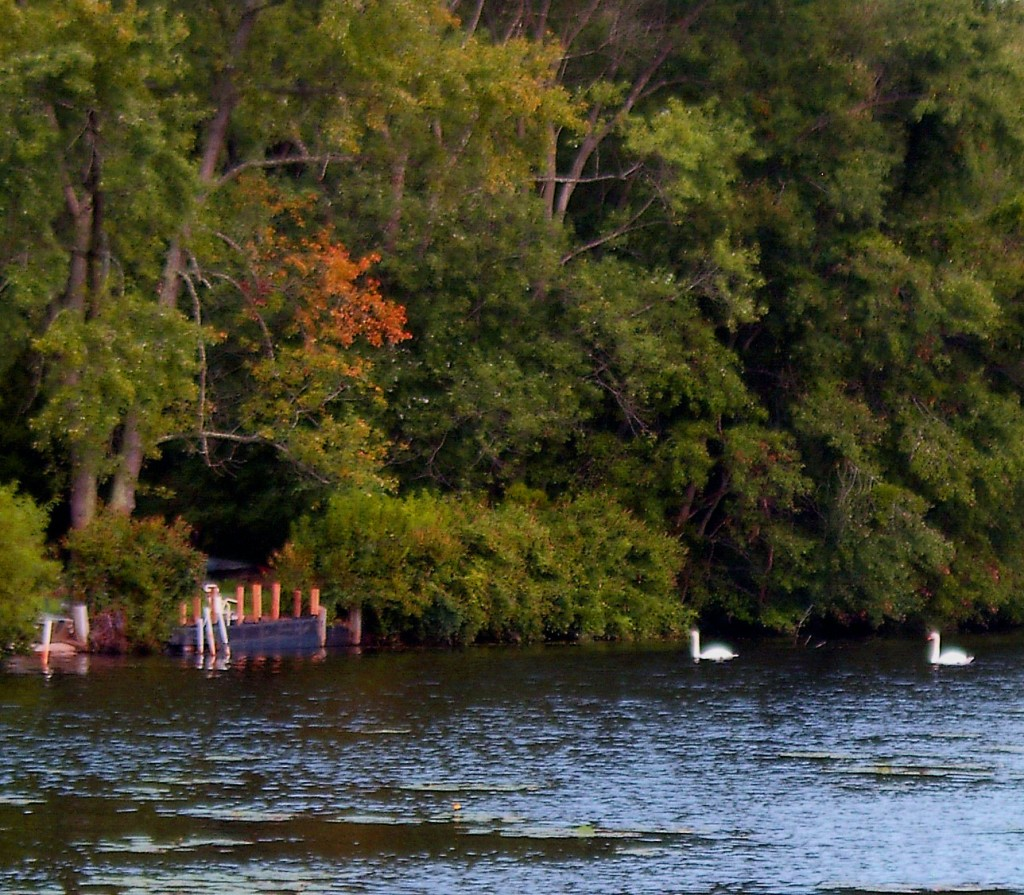 Swans At Dusk In Early Fall At Timber Lake