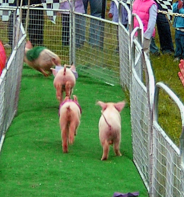 BACK END OF PIG RACE AT PUMPKIN FEST