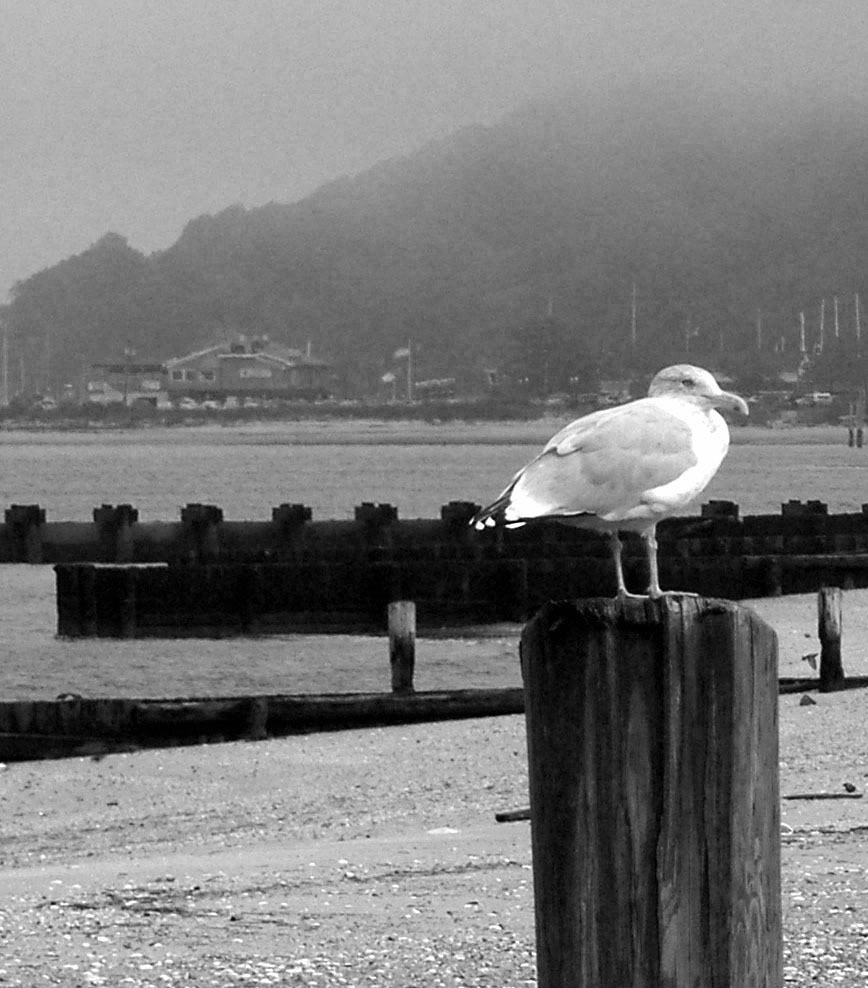 BLACK & WHITE OF SEA GULL ON PILING