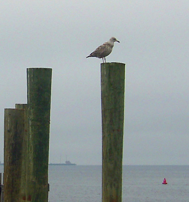 SEA GULL OVER SEEING SANDY HOOK BAY ON PILING