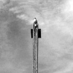 Black & White Of South Jersey Gull