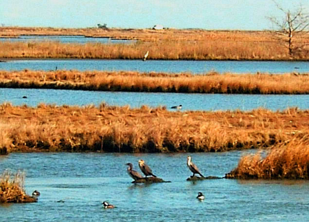 Heron Ducks & Gulls At Brigantine Bay Preserve