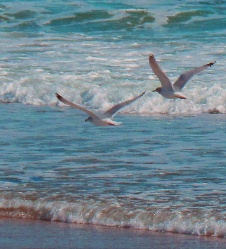 Sea Gulls Flying Over Jersey Surf