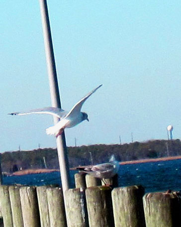 Bird Arriving At Sea Gull Pier
