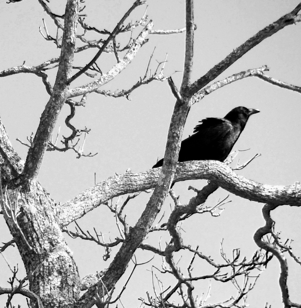 Black & White Of Crow On Tree