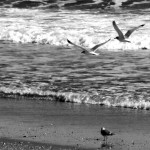 Black & White Of Sea Gulls At Jersey Shore Surf