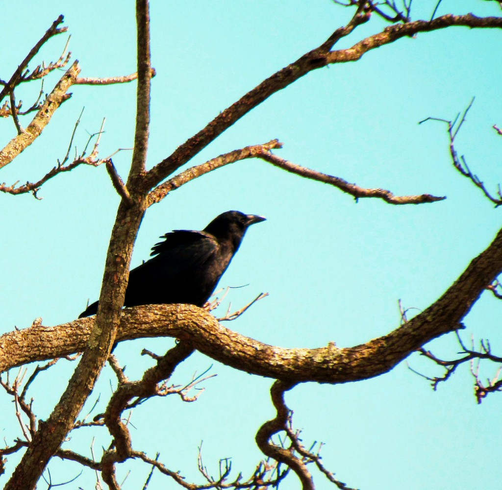 Crow Perched On Tree Branch