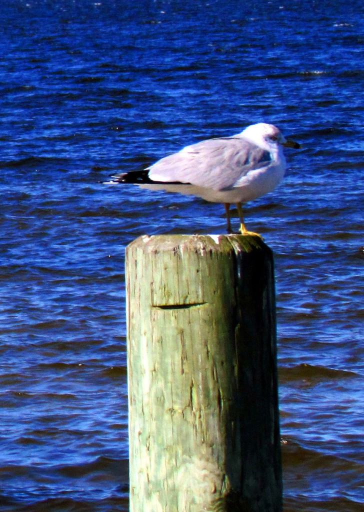 Sea Gull Perched On Piling On Sea Gull Pier