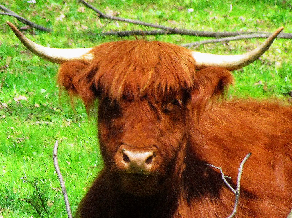 Big Red Highland Bull
