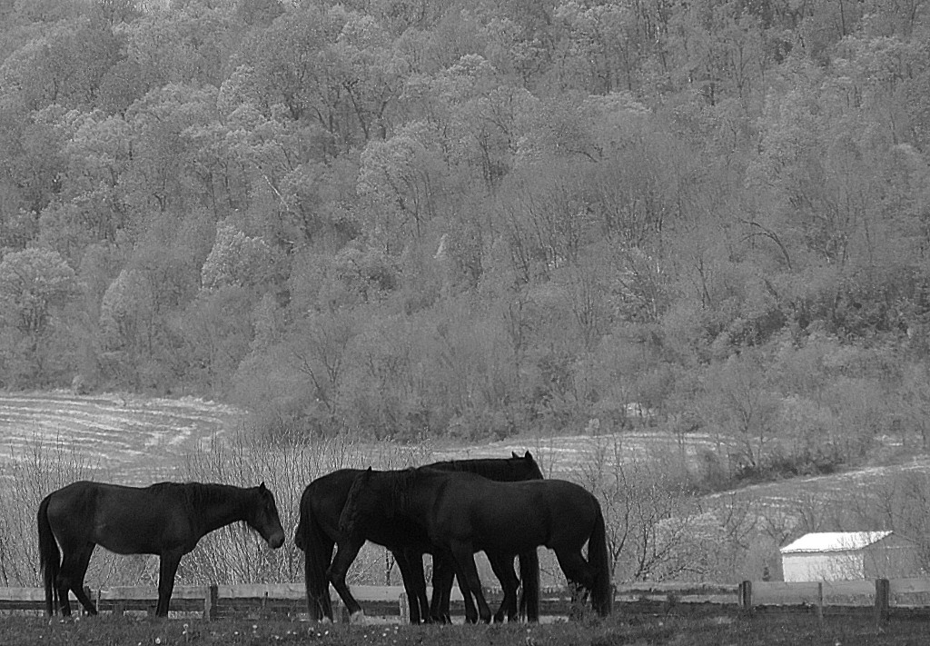 Black & White Of Horses Gathering In The Field