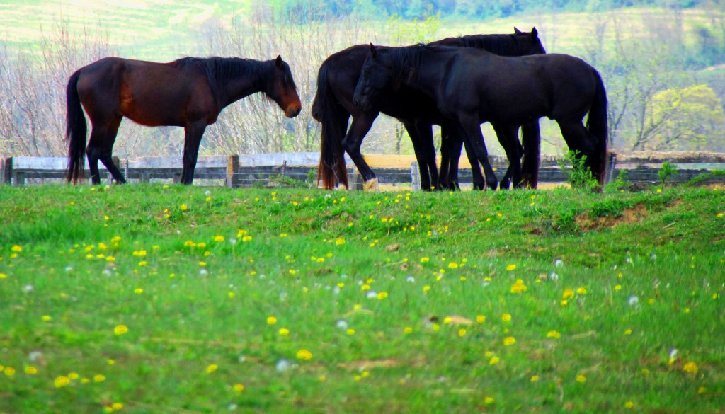Horses Grazing In A Field Of Dandelions