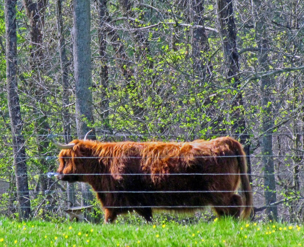 Large Highland Bull Behind Charged Fence