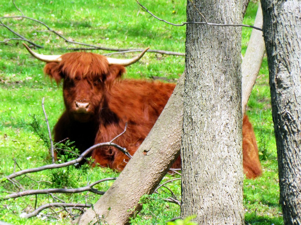 Late Morning Rest For Highland Bull