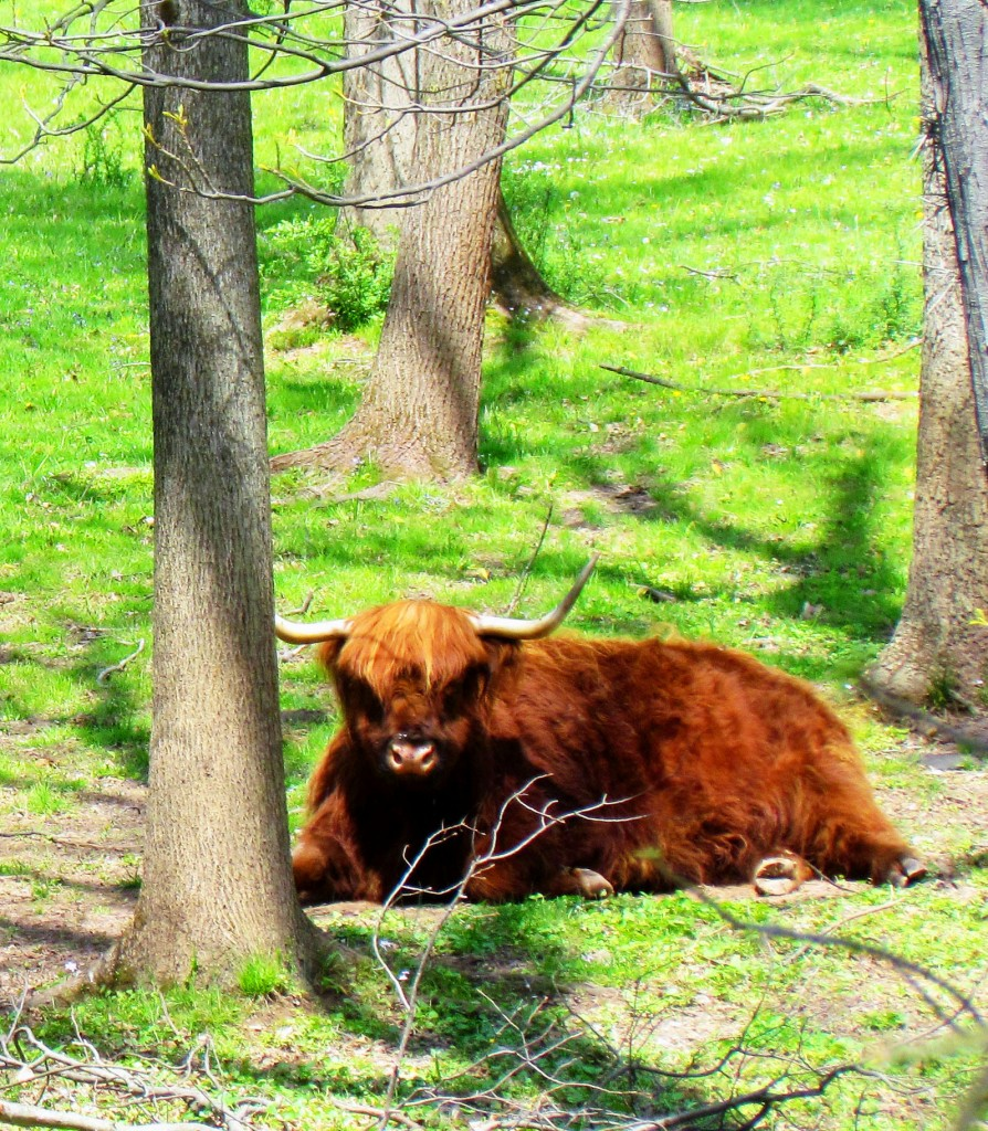 Single Bull Lying In The Woods