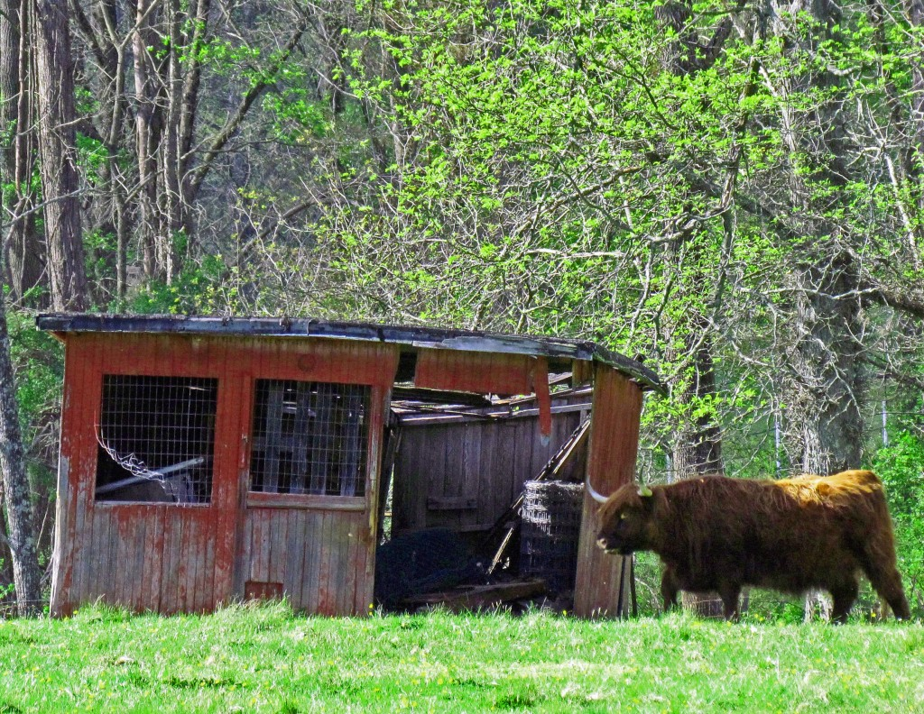 Big Red Highland Bull Passing By Old Shed