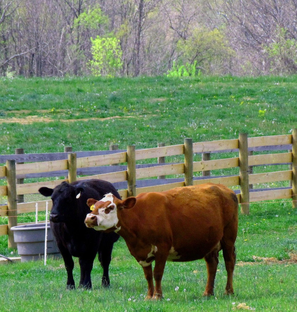 Black & Brown Cows In Jersey Pasture