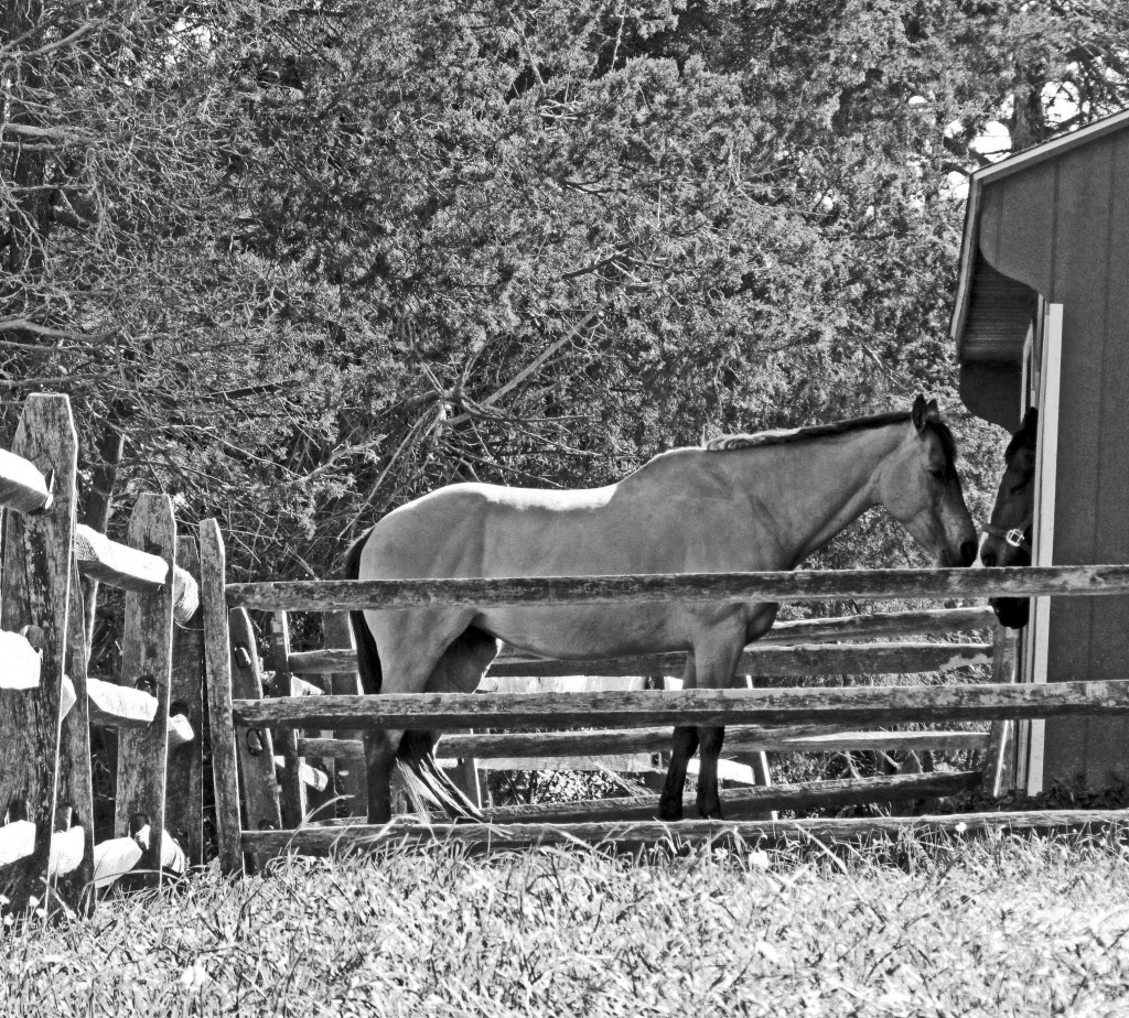 Black & White Of A Equine Tender Moment
