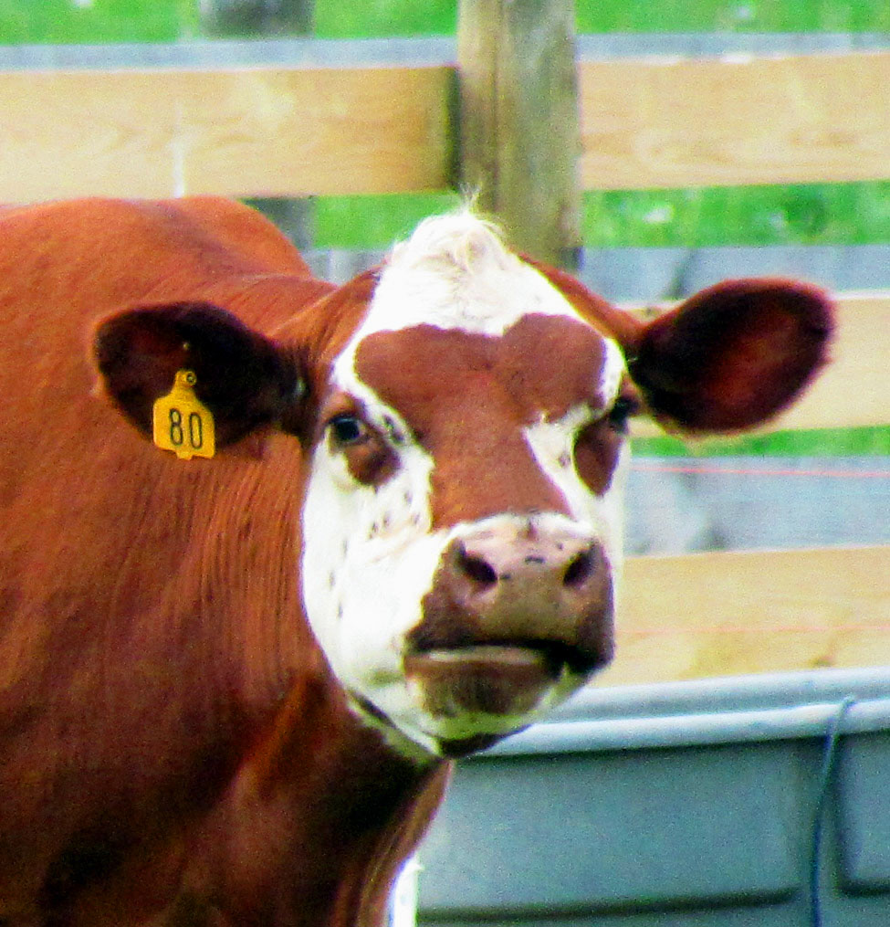 Brown Cow Close Up