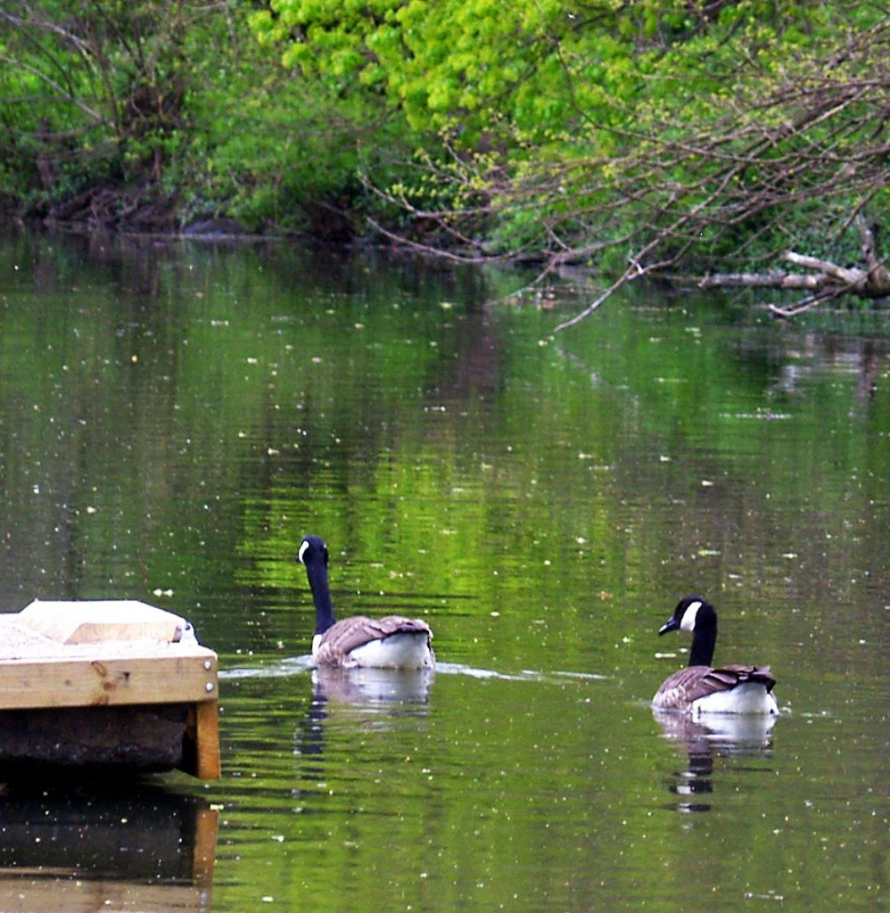 Canadian Geese Heading Home For The Day