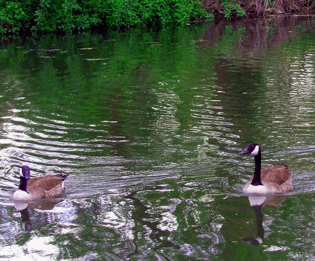 Canadian Geese In The Schuylkill Canal