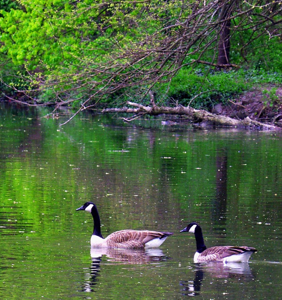 Canadian Geese Swimming The Canal In Phoenixville Greenway