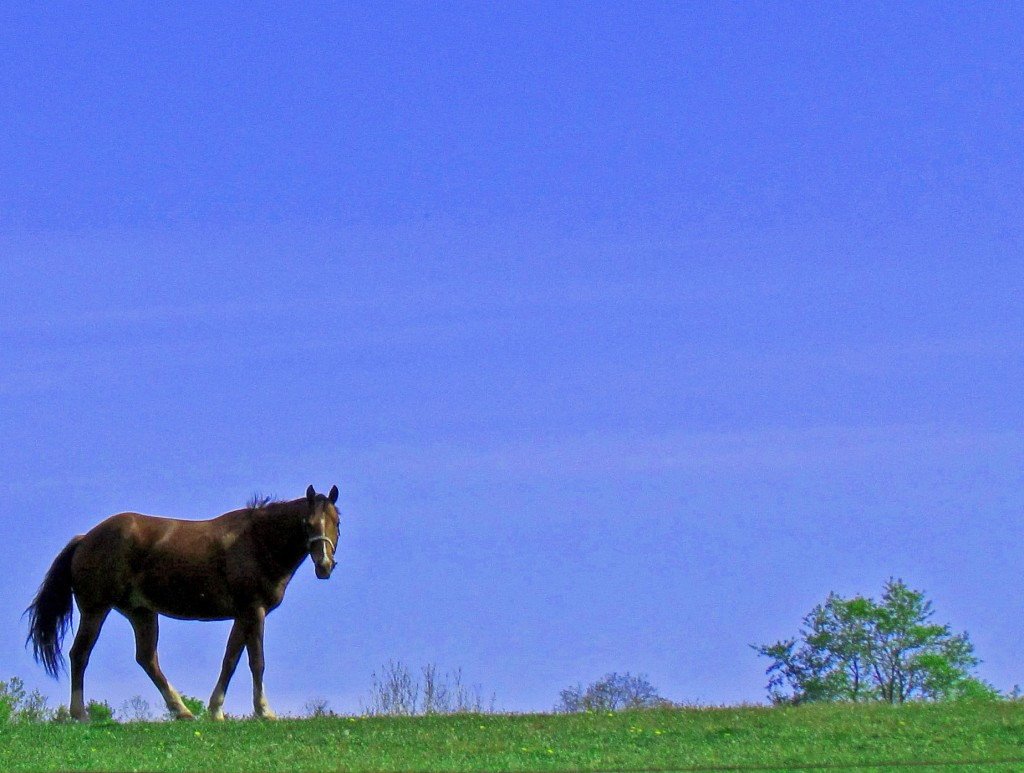 Chestnut Color Horse Walking The Pasture