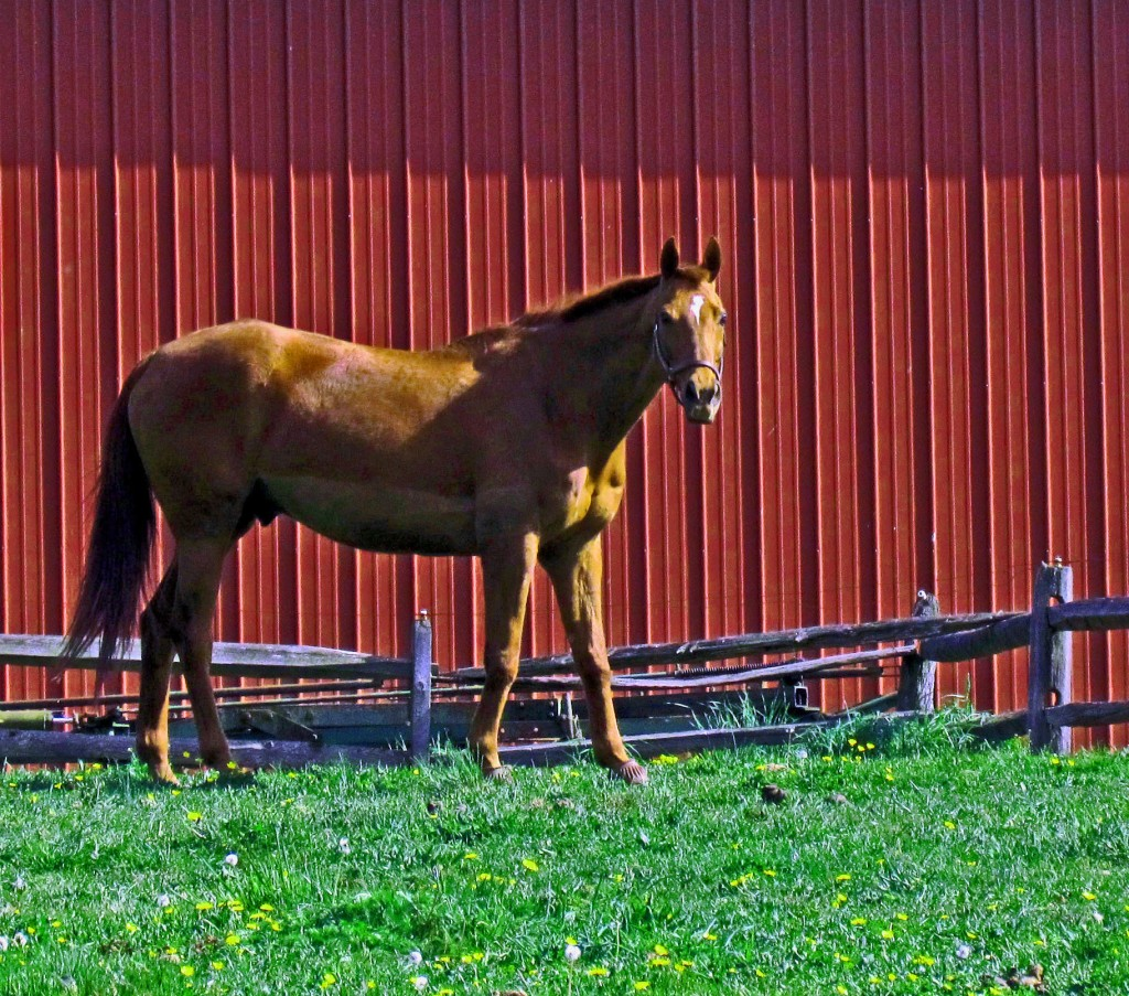 Chestnut Stallion In New Jersey Paddock