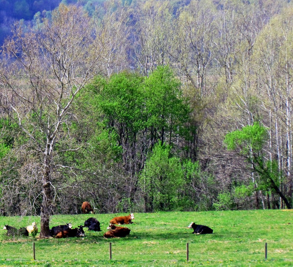 Cows Enjoying Eary Spring Afternoon