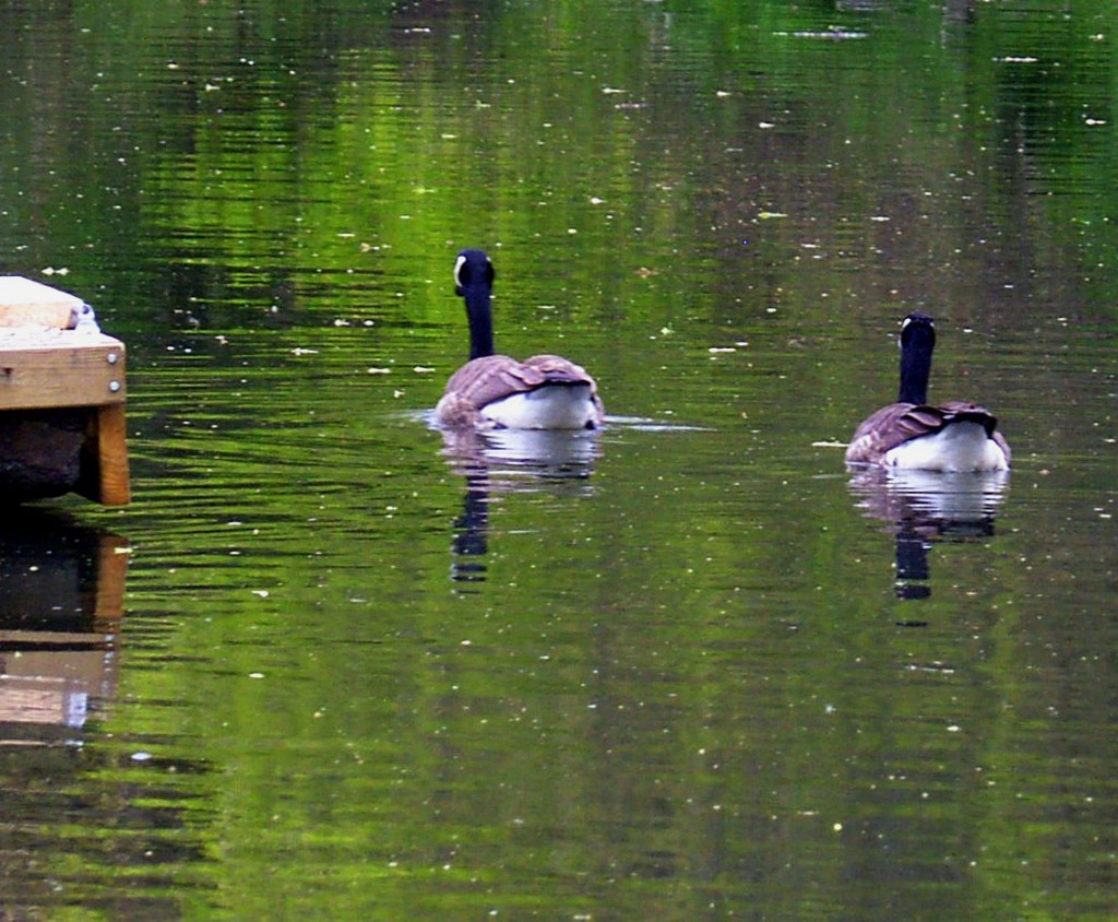 Geese Swimming Home