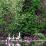 Goose Reflections From The Schuylkill Canal Shoreline