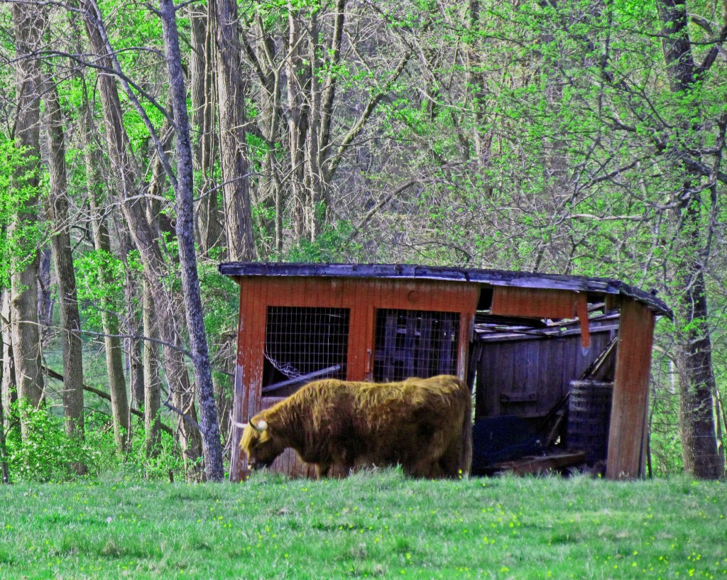 Hairy Highland Bull Grazing By Old Utility Shed