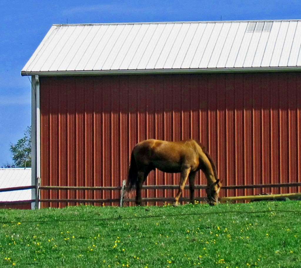 Horse Grazing In Paddock Area