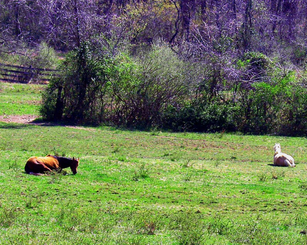 Horses Out Laying In Their Field