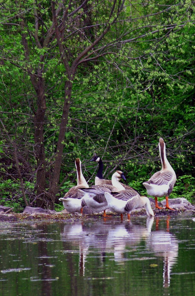 Lakeside Gathering Of Canadian & Swan Geese