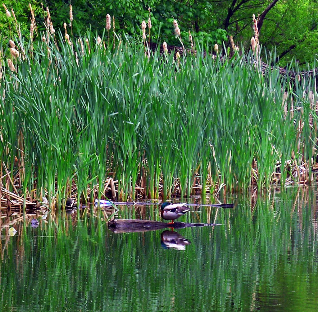 Late Morning Mallard Nap On FDR Park Lake