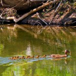 Momma Duck & Ducklings In Mosconetcong River