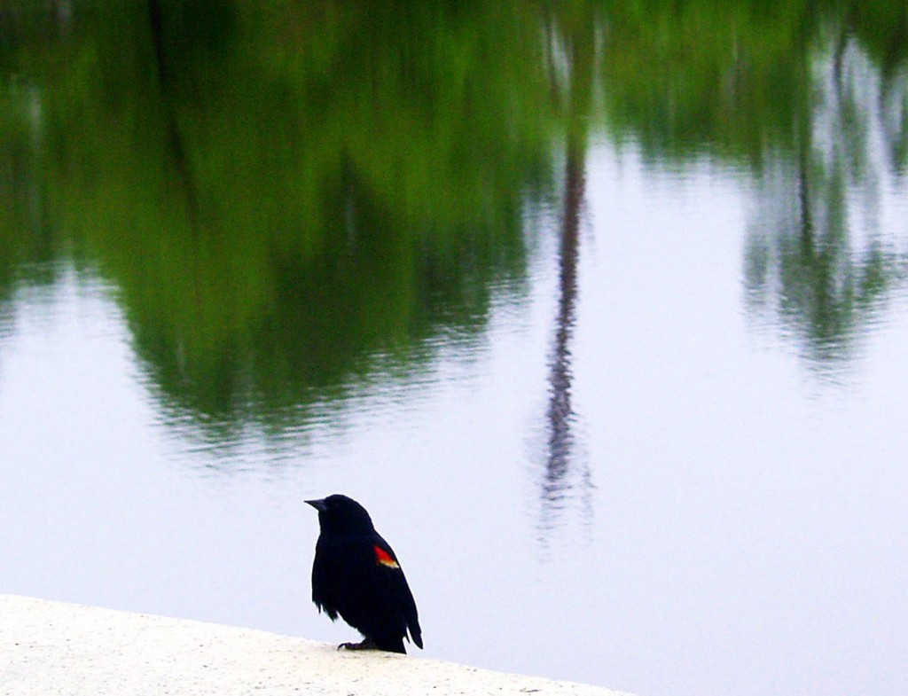 Red Winged Black Bird At FDR Park Lake