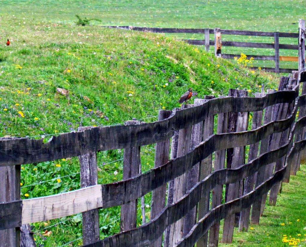 Robin Perched On Farm Fence