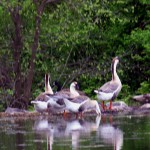 Swan Geese Reflecting On The Phoenixville Greenway Shoreline
