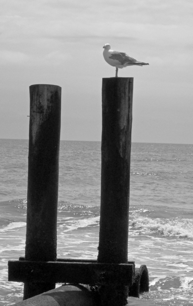 Black & White Of Gull On Piling In Longport NJ