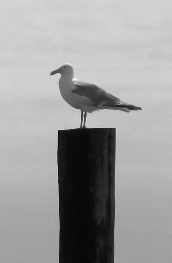 Black & White Of Sea Gull On Longport NJ Beach Piling